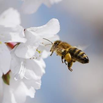 Honey bee collecting pollen.