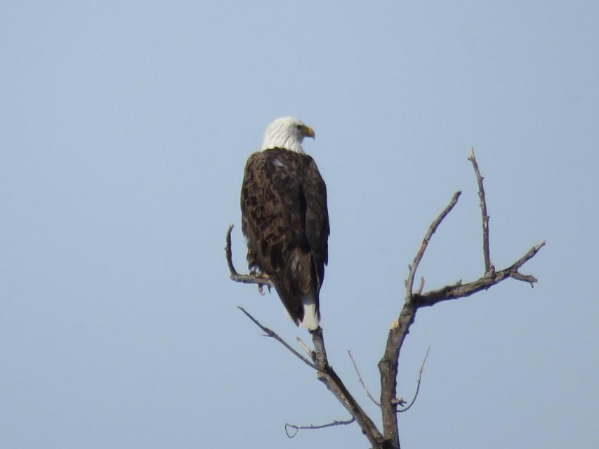Bald eagle at San Jacinto Wetlands.