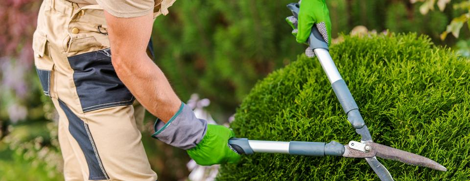 Gardener clipping hedges